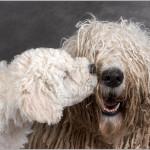 Венгерская овчарка (Командор) со своим щенком играют на фотосессии